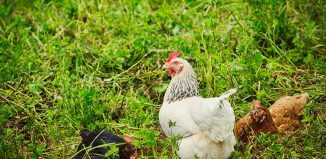 3 Legged Chicken Jokes Times