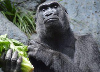 Excited Gorilla Jokes Times