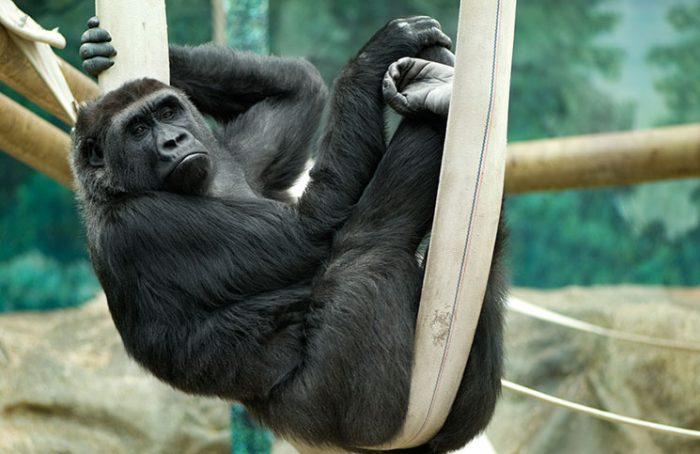 Gorilla on the Tree Jokes Times