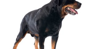 Cross-eyed Rottweiler Jokes Times