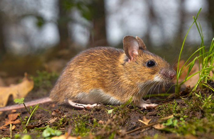 Little Mouse Jokes Times