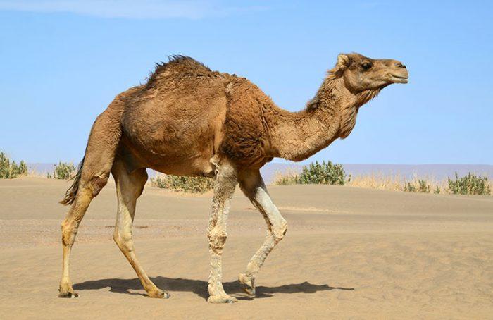 The Horny Camel Jokes Times