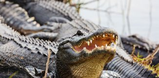Buying Alligator Shoes Jokes Times