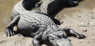 Alligators in Pool Jokes Times