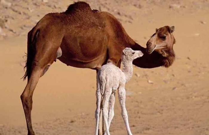 Baby Camel Jokes Times