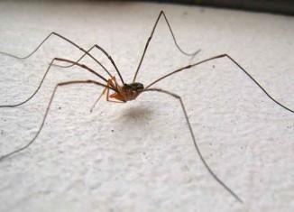 Daddy Longlegs Spider Jokes Times