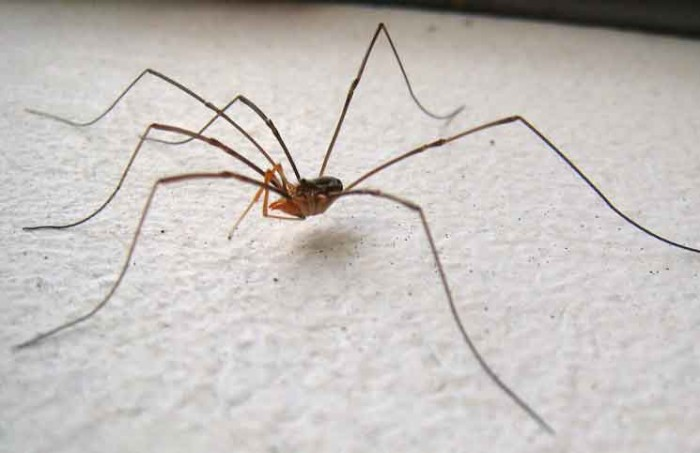 Daddy Longlegs Spider Jokes Times