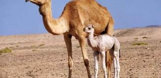 Desert Camel Jokes Times