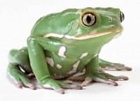 Singing Frog Jokes Times