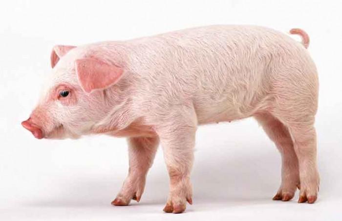 Wonder Pig Jokes Times